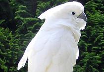 В Московском зоопарке родился птенец белого какаду